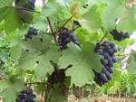 comblanchien_raisins